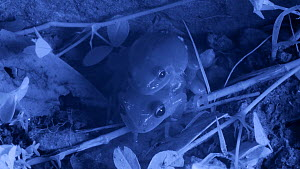 Pair of Mediterranean tree frogs (Hyla meridionalis) in amplexus on ground, Barcelona, Spain, May. Filmed at night with an infrared camera.  -  David Perpinan