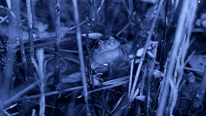 Male Parsley frog (Pelodytes punctatus) calling in a pond, Barcelona, Spain, May. Filmed at night with an infrared camera.  -  David Perpinan