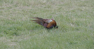 Tracking shot of a male Pheasant (Phasianus colchicus) displaying to an unreceptive female, Barcelona, Spain, May.  -  David Perpinan
