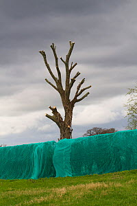 Hedge which has been 'netted ' to prevent breeding birds nesting, which would delay building development of new homes. The tree in the background has also been cut back. Chester, Cheshire, Eng... - David  Woodfall