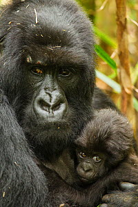 Adult Mountain gorilla (Gorilla beringei beringei) holding baby, Hirwa group, Volcanoes National Park, Rwanda  -  Mary McDonald
