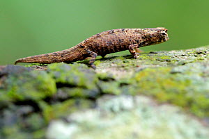 Minute leaf chameleon (Brookesia minima) female on tree trunk. The second smallest reptile in the world. Nosy Be, Madagascar. - Lorraine Bennery