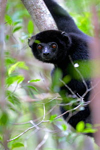 Perrier's sifaka (Propithecus perrieri). Analamera National Park, Madagascar.  -  Lorraine Bennery