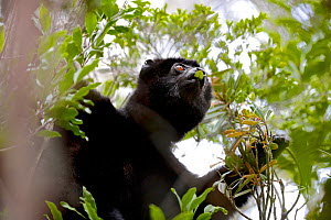 Perrier's sifaka (Propithecus perrieri) eating leaves in forest. Analamera National Park, Madagascar. - Lorraine Bennery