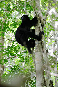 Perrier's sifaka (Propithecus perrieri) climbing tree in forest. Analamera National Park, Madagascar. - Lorraine Bennery