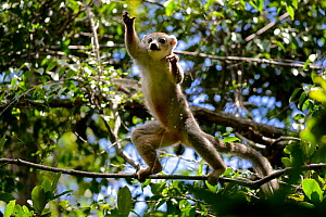 Crowned lemur (Eulemur coronatus) jumping in forest canopy. Analamera National Park, Madagascar.  -  Lorraine Bennery