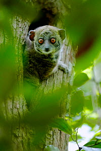 Ankarana sportive lemur (Lepilemur ankaranensis) looking out from hole in tree. Analamera National Park, Madagascar.  -  Lorraine Bennery
