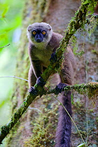 White-fronted brown lemur (Eulemur albifrons) perched in tree, looking at camera. Rainforests of the Atsinanana, Marojejy National Park, Madagascar.  -  Lorraine Bennery