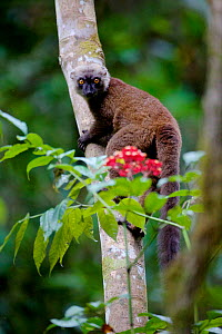 White-fronted brown lemur (Eulemur albifrons) climbing tree, looking at camera. Rainforests of the Atsinanana, Marojejy National Park, Madagascar.  -  Lorraine Bennery