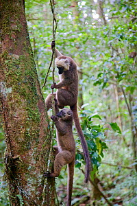 White-fronted brown lemur (Eulemur albifrons) two climbing up vine in forest. Rainforests of the Atsinanana, Marojejy National Park, Madagascar.  -  Lorraine Bennery