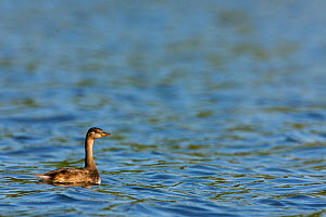 Madagascar grebe (Tachybaptus pelzelnii) swimming on Lake Ravelobe. Ankarafantsika National Park, Madagascar.  -  Lorraine Bennery