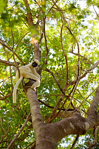Van der Decken's sifaka (Propithecus deckenii) climbing tree, looking down at camera. Tsingy de Bemaraha National Park, Madagascar. - Lorraine Bennery