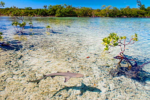 Lemon shark pups (Negaprion brevirostris) spend the first 5-8 years of their life in mangrove forests. The tangle of roots provides protection from predators and is full of potential prey like juvenil... - Shane Gross