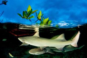 Lemon shark pup (Negaprion brevirostris) in mangrove forest which acts as a nursery for juveniles of this species. Eleuthera, Bahamas.  -  Shane Gross