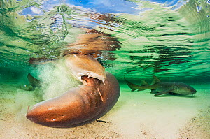 Nurse shark (Ginglymostoma cirratum) bites onto a female while mating in the shallows, with another male nearby. Eleuthera, Bahamas.  -  Shane Gross