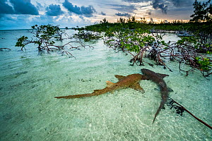 Nurse sharks (Ginglymostoma cirratum) two in a courtship dance at sunrise in a mangrove area near Eleuthera, Bahamas. - Shane Gross