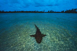 Nurse shark (Ginglymostoma cirratum) resting in shallow water at sunset to save energy for mating which will take place the next morning. Eleuthera, Bahamas.  -  Shane Gross