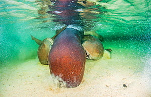 Nurse shark (Ginglymostoma cirratum) two males bite onto the pectoral fins of a larger female while trying to mate with her, Eleuthera, Bahamas - Shane Gross