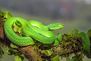 Side-striped palm pit viper (Bothriechis lateralis)  adult, Costa Rica - Melvin Grey