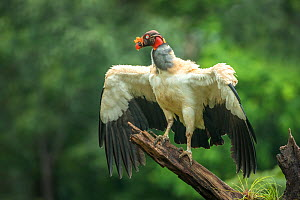 King vulture (Sarcoramphus papa) adult, Lowland Rainforest, Costa Rica  -  Melvin Grey