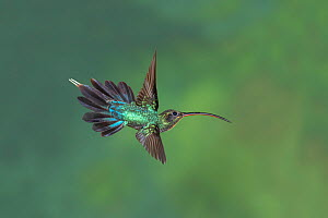 Green hermit hummingbird (Phaethornis guy) adult male in flight, Atlantic cloud forest, Costa Rica. - Melvin Grey