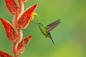 Green-crowned brilliant hummingbird (Heliodoxa jacula) female,  Atlantic clouds forest, Costa Rica. - Melvin Grey