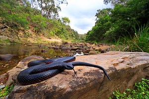 Red-bellied Blacksnake (Pseudechis porphyriacus) basking on rock, Lerderderg Gorge, Victoria, Australia, February. - Robert Valentic
