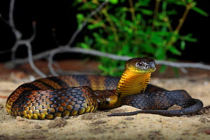 Eastern Tiger Snake (Notechis scutatus) female, from coastal sand dunesn in the south western corner of Victoria, Australia. - Robert Valentic