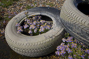 Sea asters (Aster tripolium) in discarded car tyres, Norfolk, England, UK. September. - Ernie  Janes