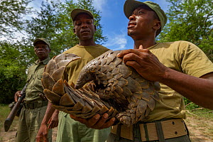 Park ranger holding a Temminck's ground pangolin (Smutsia temminckii), after rescuing it from poachers. This individual was later released back into the wild. Gorongosa National Park, Mozambique.  -  Jen Guyton