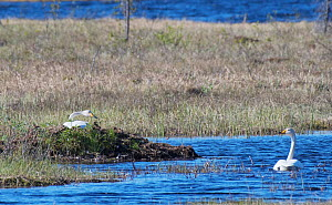 Whooper Swan (Cygnus cygnus) incubating on top of a huge nest made from surrounding aquatic vegetation, with its mate swimming nearby. Limpolo, Sirkka, Finnish Lapland, June. - Roger Powell
