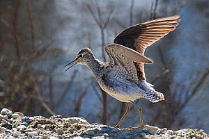 Common Greenshank (Tringa nebularia) male displaying to a female. Pokka, Inari, Finnish Lapland, Finland. May. - Roger Powell