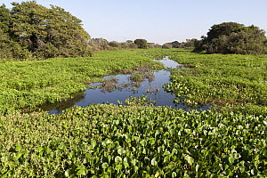 Vegetation including Water hyacinth growing in the Miranda River, Pantanal area of Brazil. Mato Grosso do Sul, Brazil. May 2018. - Mark Taylor