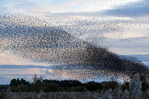Starling (Sturnus vulgaris) murmuration, huge flock approaching roost in the evening, Avalon Marshes, Somerset, England, UK. November.  -  John Waters