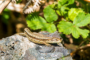 Common lizard (Lacerta vivipara) basking on rock. Mendip Hills Area AONB, Somerset, England, UK. May.  -  John Waters