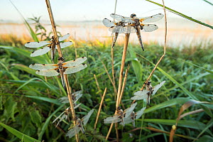 Four-spotted darter (Libellula quadrimaculata), group roosting on stems at dawn. Avalon Marshes, Somerset, England, UK. June.  -  John Waters