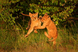 African Lion (Panthera leo) cubs age two months playing, Masai Mara, Kenya Medium repro only  -  Andy Rouse