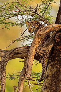 African Leopard (Panthera pardus) young cub (3 months) in tree, Masai Mara, Kenya - Andy Rouse