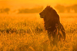 African Lion (Panthera leo) male at sunrise, Masai Mara, Kenya  -  Andy Rouse