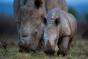 A young White rhinoceros (Ceratotherium simum) and its mother feed on grassland on Kariega Game Reserve, South Africa.  -  Neil Aldridge