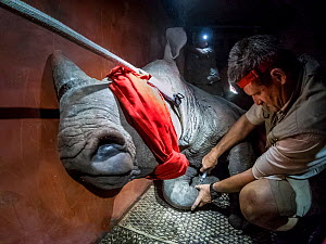 A vet injects a sedated White rhinoceros (Ceratotherium simum) in a transport crate as part of a night time translocation operation to bring rhinos from South Africa to Okavango Delta, Botswana, to re... - Neil Aldridge