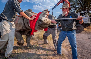 Blindfolded and partially drugged adult White rhinoceros (Ceratotherium simum) is led out of its transport crate and into the wild in the Okavango Delta, Botswana. During a translocation operation tha... - Neil Aldridge
