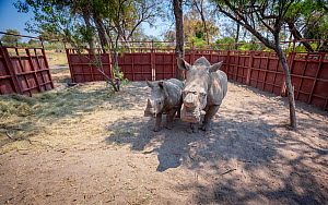 White rhinoceros (Ceratotherium simum) mother and calf prepare to leave a boma - a secure enclosure - in the Okavango Delta, northern Botswana, after being translocated from South Africa as part of ef...  -  Neil Aldridge