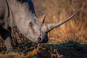 White rhinoceros (Ceratotherium simum) female with a long horn in early morning light, Marakele National Park, South Africa. - Neil Aldridge