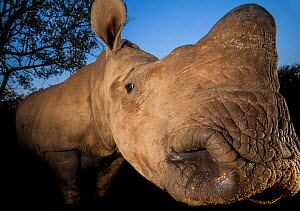 Orphaned White rhinoceros (Ceratotherium simum) at dusk at the Rhino Revolution orphanage near Hoedspruit, South Africa. The mother of this rhino was killed by poachers for her horns. - Neil Aldridge