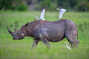 Black rhinoceros (Diceros bicornis) walks across the open plains, Okavango Delta, Botswana while egrets follow to catch insects flushed from the grass. This rhino was released in the Okavango Delta as...  -  Neil Aldridge