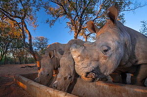 Orphaned White rhinoceros (Ceratotherium simum) calves feed from a trough at dusk at the Rhino Revolution orphanage near Hoedspruit, South Africa. The mothers of these rhinos were killed by poachers f... - Neil Aldridge