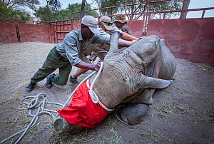 Team of vets and conservation staff move a sedated White rhinoceros (Ceratotherium simum) into a comfortable resting position in a secure enclosure known as a boma during a translocation operation to...  -  Neil Aldridge
