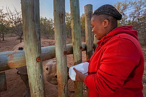 An orphaned White rhinoceros (Ceratotherium simum) calf is bottle fed by a vet assistant at the Rhino Revolution orphanage, South Africa. - Neil Aldridge