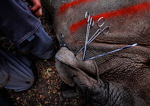 Vets cut identification notches into the ear of a White rhinoceros (Ceratotherium simum) before releasing it into the wild of the Okavango Delta in northern Botswana after the rhino was translocated f...  -  Neil Aldridge